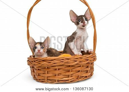 Kittens the breed Cornish Rex in a basket isolated on white