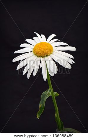 Chamomile on a white background - beautiful flower
