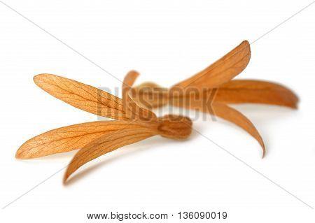 Dried Palo Santos flower, Triplaris cumingiana, Central of Thailand