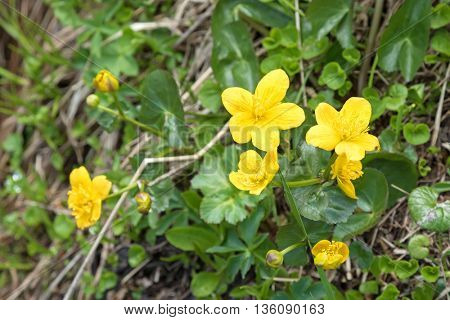 Closeup of Marsh Marigold flowers in yellow growing on wet woodland blossoming during summer in Austria, Europe. (Caltha palustris)