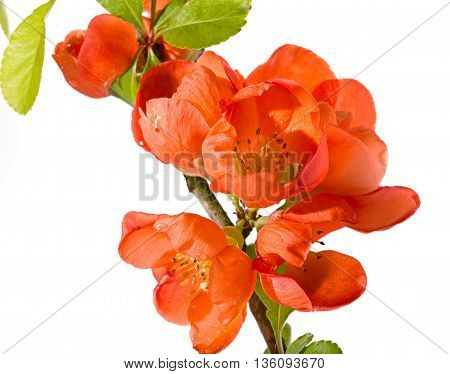 Branch with red flowers of the Japanese quince. It is isolated on white a close up small depth of sharpness