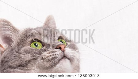 The head of a gray cat with green eyes. Light background close up small depth of sharpness free space above and on the right