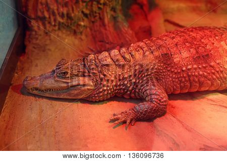 Alligator in zoo indoors, resting under infrared heating lamp. Lying crocodile in cage, wild animal. Reptile in aviary