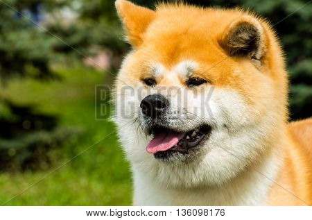 The Japanese Akita Inu portrait. The Japanese Akita Inu is in the park.