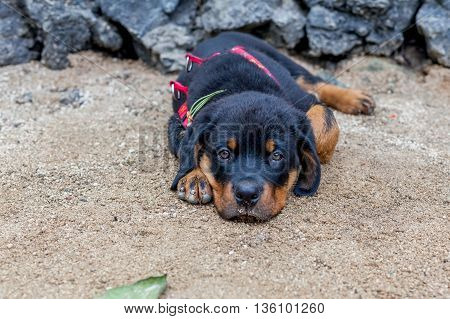 Portrait Of An Young Rottweiler Puppy Two Months Old
