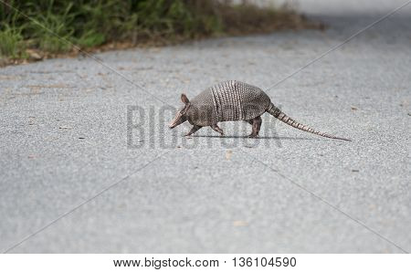wild armadillo crossing a road in Florida