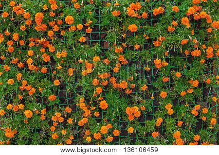 vertical flowerbed of marigolds. decorative wall with marigolds, background