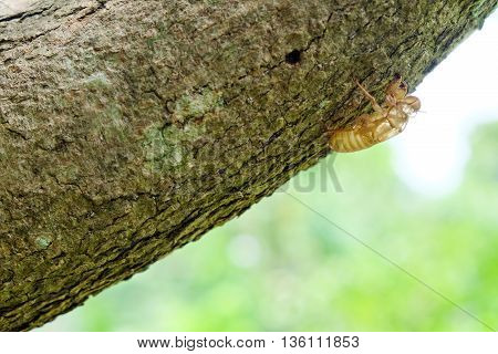 Cicada shell over dry lichen on tree