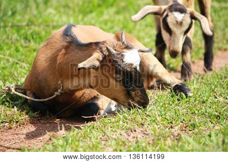The goat was sitting there chewing grass.
