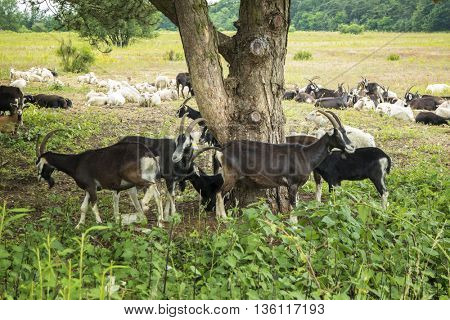 Herd of Goats under a tree on a sunny day