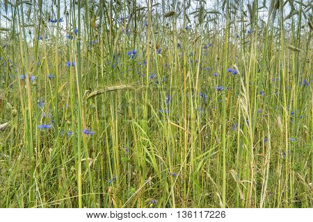 Wheat Field with Cornflowers. Agricultural background