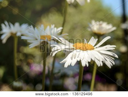 Camomiles against the sky and greens. In the foreground a camomile flower close up. On the average plan - other camomiles out of a sharpness zone. On a background - foliage and the sky. Outdoors. Gorizontalny format. Color. Photo.