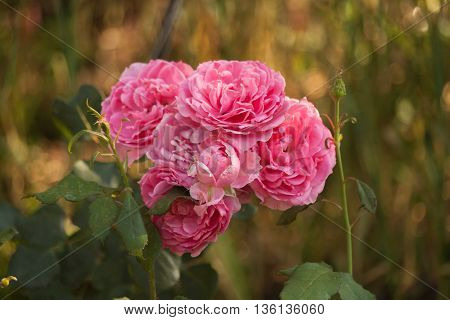 Roses on green blurred background with pink petals. Blooming pink rose in the garden.