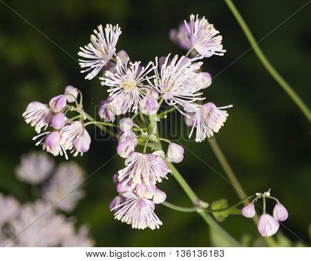 Columbine meadow-rue Thalictrum aquilegifolium flowers and buds with bokeh background macro selective focus shallow DOF