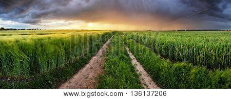 Wheat field green grass landscape at sunset