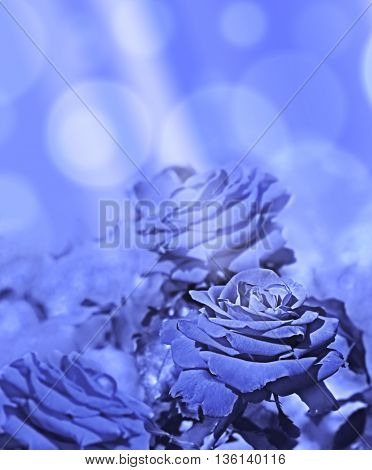 Abstract background of blue roses with sunlight a beautiful rose flower symbol of love greeting or condolences for card