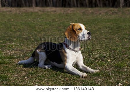the dog breed beagle is lying on green grass