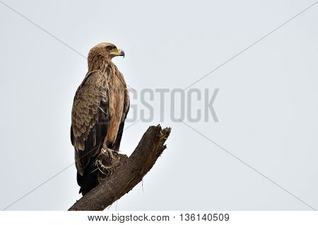 Tawny eagle (Aquila rapax) sitting on a branch tree in african natural park