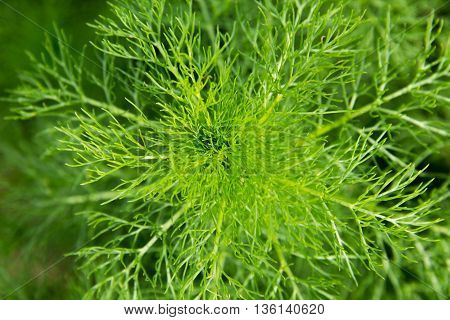 Fresh green dill on a meadow plant, stalk, farming,