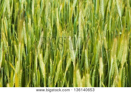 wheat stalks Farm Nature plant, stalk, farming