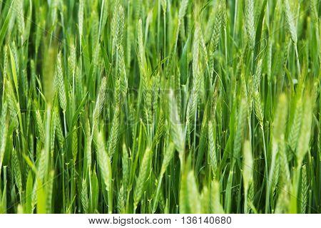 wheat stalks Farm Nature rural, nature  meadow