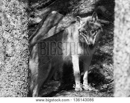 European wolf hidden behind tree in the forest . Black and white image.