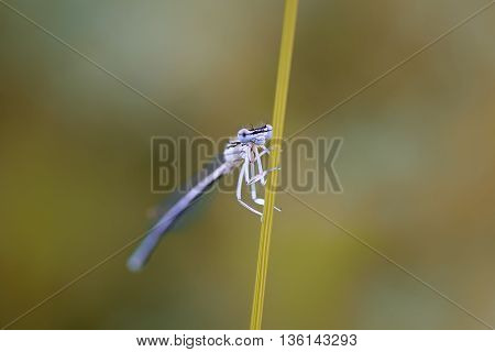 a little blue dragonfly hiding behind a blade of grass on a sunlit meadow