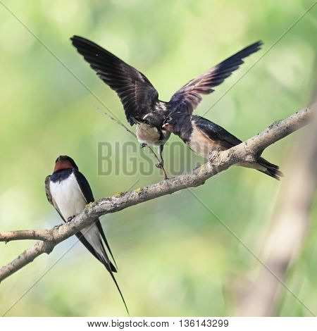 bird swallow and two Chicks sitting on a branch on the shore in the summer