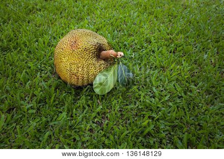 Jack fruit on the green grass