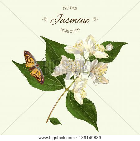 Vector realistic illustration of jasmine branch with butterfly. Isolated on light green background. Design for tea, essential oil, natural cosmetics, aromatherapy.Can be used
