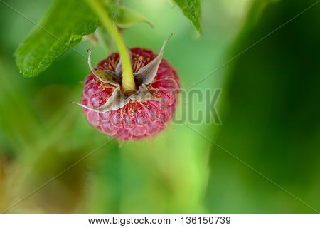 Close-up Image of Red Ripe Raspberry Growing in the Garden