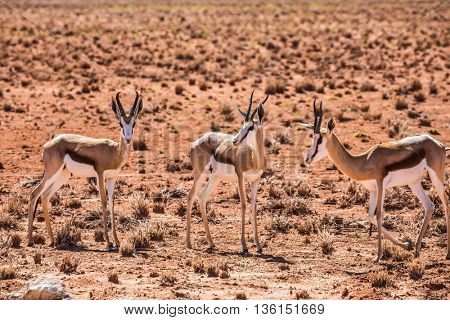 Travel to Namibia, Africa.  Small herd of springbok antelope grazing near the road