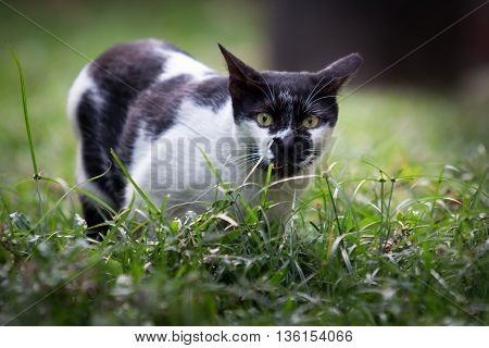 Fear ugly cat on a grass patch