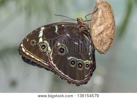 Blue-banded morpho butterfly close up on a Pupa