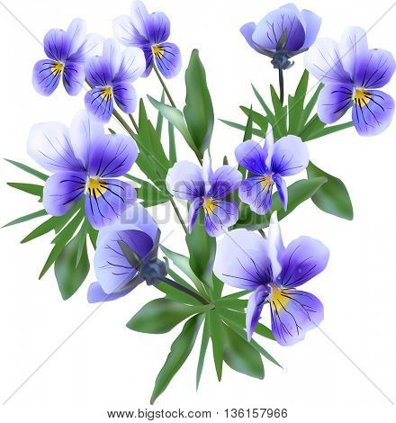 illustration with blue garden violet flowers isolated on white background