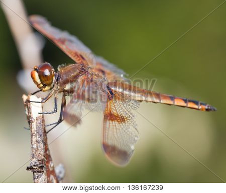 Dragonfly with orange and brown eyes waiting on a stick