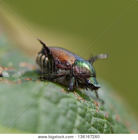 Japanese beetle that is feasting on a grape leaf