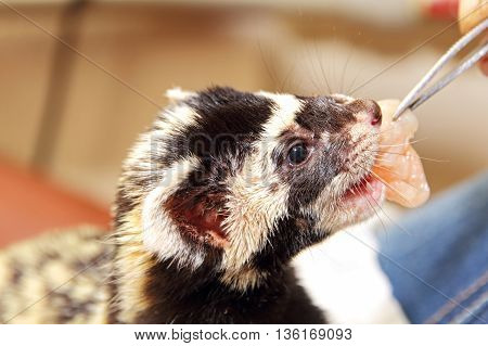 Marbled polecat (Vormela peregusna) feeding by means of tweezers taken closeup.