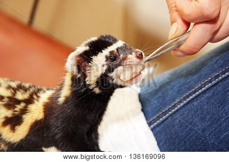 Human hand with tweezers feeds Marbled polecat (Vormela peregusna).Was classified as a vulnerable species in the IUCN Red List.