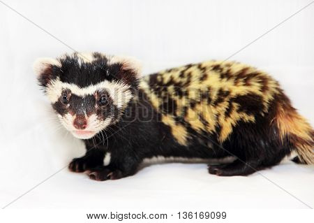 Marbled polecat (Vormela peregusna) on white fabric background. Was classified as a vulnerable species in the IUCN Red List.