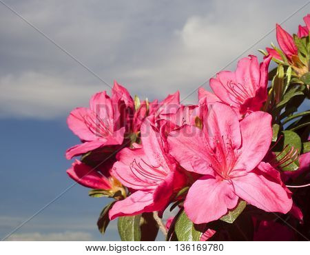 Pink azalea flowers on the plant with sky and clouds behind