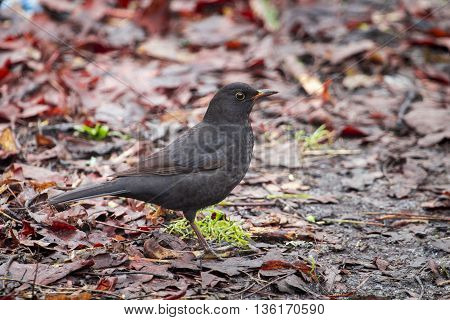 Black bird on the ground in the forest in autumn day in morning
