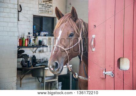 Curious chestnut brown horsing peeking around a red bard door.