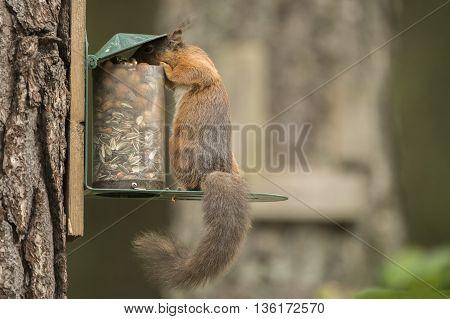 Red Squirrel, Sciurus Vulgaris, Eating From A Squirrel Feeder