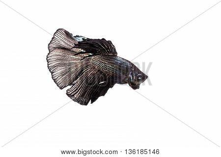 Betta, Siamese Fighting Fish