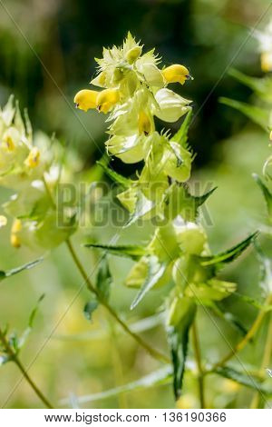 Rhinanthus Angustifolius Or Greater Yellow-rattle