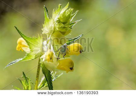 Hoplia Parvula On A Rhinanthus Flower