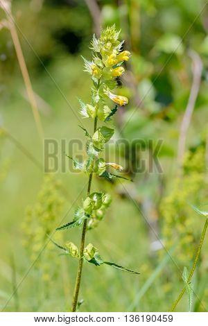 Rhinanthus Angustifolius Or Greater Yellow-rattle