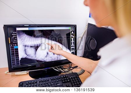 Female Veterinary Surgeon Examining X Ray of a dog. Vet looking at animals radiography. Unrecognizable veterinarian in white uniform at veterinary clinic working.