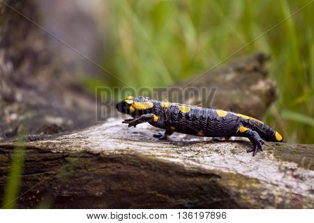 Beautyful european fire salamander. Polish fauna animals.